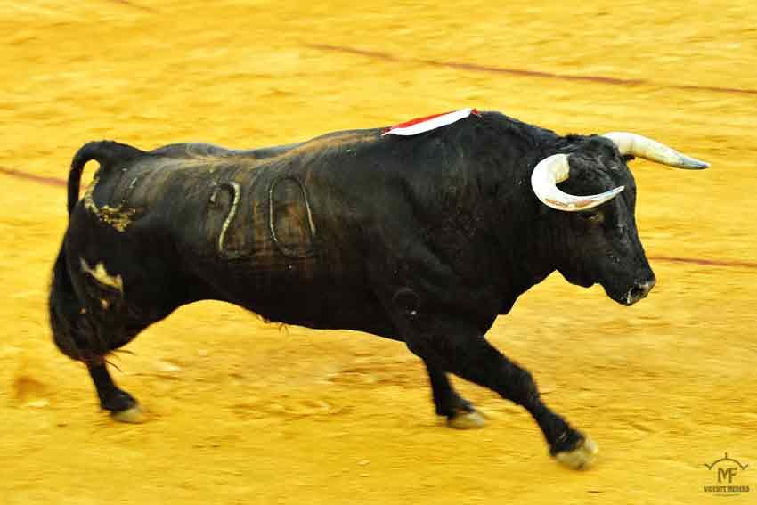 Cuarto: Juan Pedro Domecq, con 488 kilos.