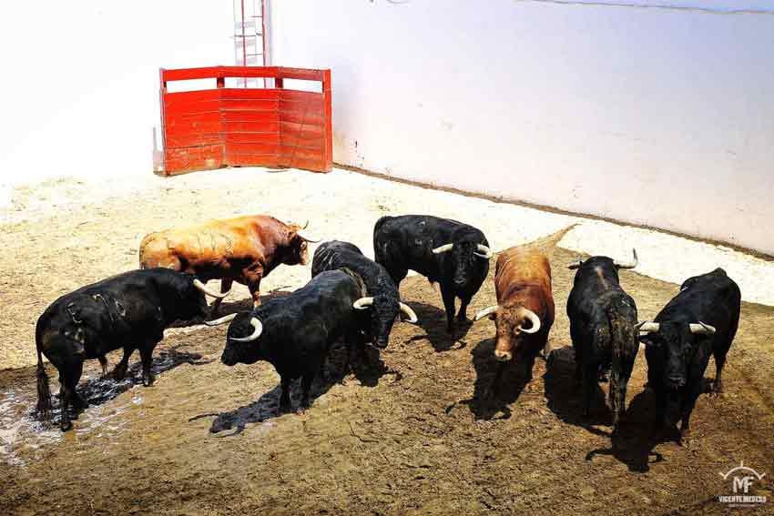 Toros de Núñez del Cuvillo.