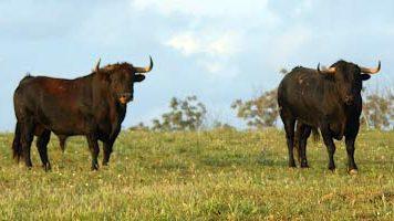 Toros de Manuel Ángel Millares en el campo. (FOTO: Marín)