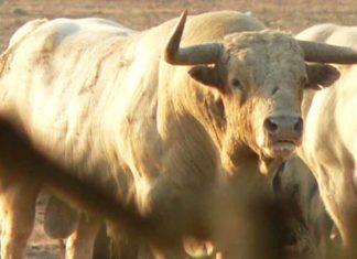 Estampa de un típico toro de Prieto de la Cal.