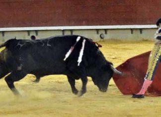 Acometividad y nobleza de 'Comino' en Castellón. (FOTO: J.Porcar)